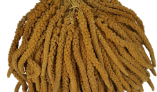 Proso senegalskie (żółte) w kłosach 500 g - Francja (2271)