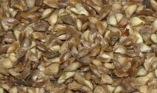 Quiko - Nasiona modrzewia 200 g