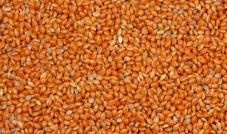 Proso senegalskie czerwone 1 kg